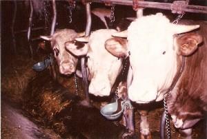 Das Ende der Landwirtschaft ca. 1981-82 - die letzten drei Ochsen im Stall - 3. Generation